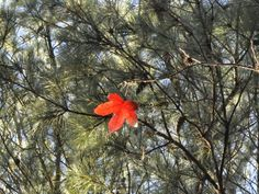 Single red leaf against pine