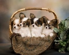 Four Papillon Puppies In Basket