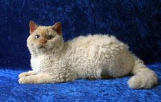non shedding cat breeds | Cute Cats Pictures