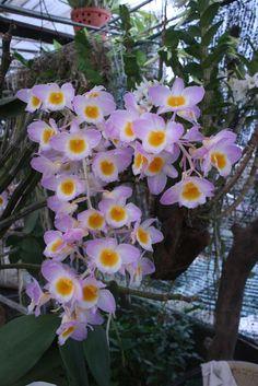 Dendrobium alticola