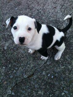 Black and white pitbull puppy