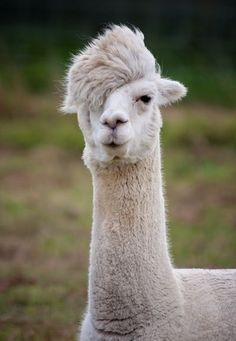 Admit it! You'd bring a picture of this llama to your hairstylist. Anything—anything!—to approximate the famously cool side swoop of Tilda Swinton.