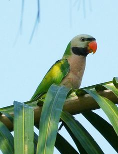 Long Tail Parakeet by Michael Khor, via Flickr