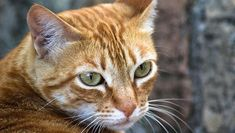"""The tabby cat is one of the most popular types of cats in America. They're also considered one of the most """"classic"""" looking domestic cats Cat Enclosure, Reptile Enclosure, F2 Savannah Cat, Types Of Cats, Munchkin Cat, Orange Tabby Cats, French Bulldog Puppies, Cat Facts, Domestic Cat"""