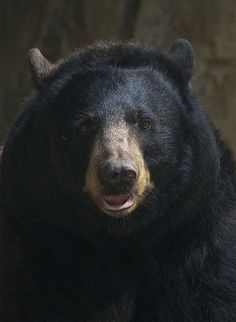 Black bear - it looks like this bear sat and posed in a studio for this pic! lol