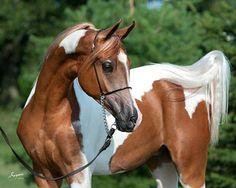 "#Онлайн #Психолог #домашних #питомцев - #animal #psychology #Fb    https://www.facebook.com/animal.psychology #Сайт #зоопсихолог http://psychologiespets.ru   Психолог онлайн. ""Психология личного пространства"" http://psychologieshomo.ru #Лошади #horse #Кони #Horses #фотографии лошадей #Arabian Horse Arabian Horse Show - Western Competition Egyptian Stallion Breeding PIntabians"