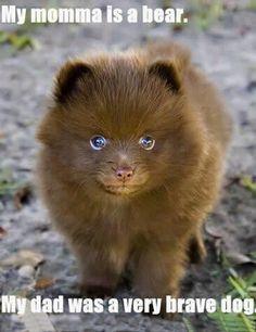 OH SO CUTE ! COCO Pomeranian Puppy