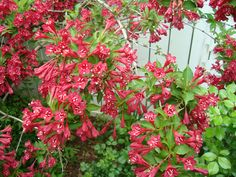 Bright red Wigelia shrub in the back corner of our garden. Does well in the shade and adds bright spring color.
