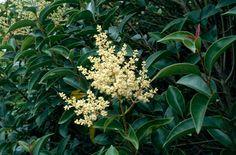 Ligustrum lucidum (Glossy leaved Privet) An evergreen propagated by hardwood (ripe wood) cuttings