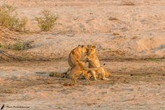 A game of Tag.......... - Playtime in perfect light at the Ruaha national Park Please check out http://ift.tt/1SB4S9B for more pictures