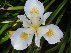 all the colors of the iris flower   white cut flower iris wild bearded iris