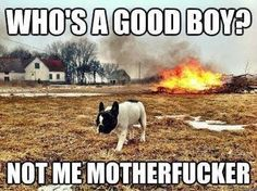 YAY! ME ❤ BOSTON TERRIERS!! Funny Dog Memes, Funny Dogs, Funny Animals, Funny Quotes, Animal Memes, Crazy Animals, Dog Jokes, Animal Funnies, Silly Dogs