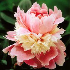 Peony - low maint flowering bush