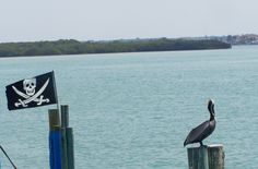Pelican & Pirate Flag, mangrove island in background