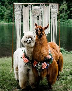 15 Stylish Ideas From Llamas And Alpacas Zoo Animals, Cute Baby Animals, Animals And Pets, Funny Animals, Alpacas, Animal Photography, Wedding Photography, Photography Ideas, Cute Alpaca