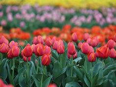 A tulip field comes alive with color in Pilot Point,