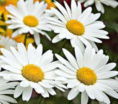Leucanthemum x superbum Becky