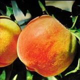3x1 Res. Peach Combo (FR/Q18/MJ/AV) / Lovell SPRING Enjoy three of the following four peaches: Frost, Q18, Mary Jane and Avalon Pride disease resistant peaches on one beautiful,  self-fertile tree.