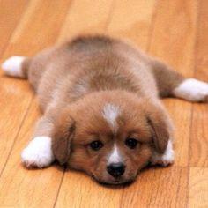 Corgi Puppy!