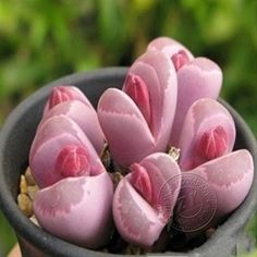 New 30 Lithops Seeds Rare Exotic Bonsai Succulents Seeds Potted Plants Seeds 11