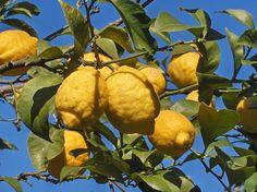 Il Limone femminello del Gargano è ricco di oli essenziali!