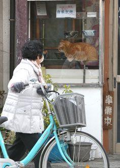 そば屋「やぶ」の看板猫ピンク。観察されてるのはネコ?それともニンゲン?=荒川区町屋(尾崎修二撮影)