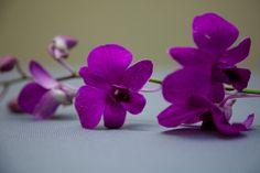 A single purple dendrobium orchid