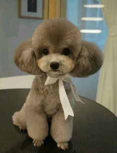 Tiny and cute Pups Dog grooming styles, Poodle grooming toy poodle haircut styles - Haircut Style Dog Grooming Styles, Poodle Grooming, Cortes Poodle, Cute Puppies, Cute Dogs, Puppies Gif, Corgi Puppies, Teddy Bear Poodle, Tiny Dog Breeds