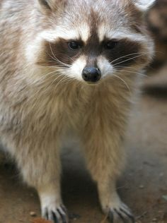 Raccoon | Flickr – Compartilhamento de fotos!