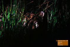 Leopard Hiding in the Bush - Kruger Park South Africa