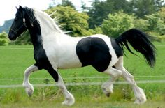 Pinto horses | Barock pinto. What do you think? at the Horse Breeding forum - Horse ...