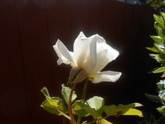The Beauty of a Rose: What Defines Beauty?  This rose is just past its prime, but still pretty neat.