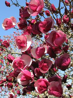 5 Alexandrea Magnolia Seeds LILY FLOWER TREE Fragrant Tulip Magnol Liliiflora blossoms Shade Plant Dry Weather Ornamental Shrub Spring Fall by ToadstoolSeeds on Etsy Exotic Flowers, My Flower, Beautiful Flowers, Flower Tree, Beautiful Gorgeous, Simply Beautiful, Pink Flowers, Magnolia Trees, Magnolia Flower
