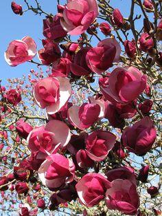 Magnolia x soulangiana 'Alexandrina' by Tie Guy II, via Flickr