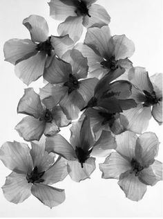 flower x-ray | black and white.?