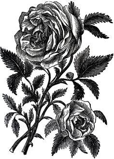 Vintage Roses Engraving Image via Graphics Fairy