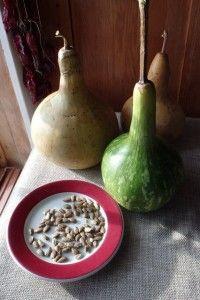 semences courge décorative birdhouse seeds