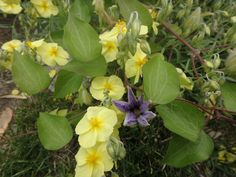 2015 clematis and heleanthum