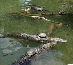 Brave turtles basking on gators