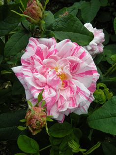 Gallica Rose: Rosa 'Georges Vibert' (France, 1853)