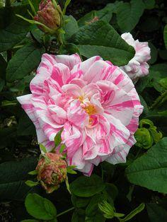 Gallica Rose: Rosa 'Georges Vibert' (France, 1853)