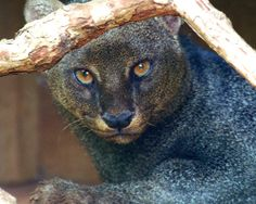 "The jaguarundi is a medium-sized wild cat that ranges from southern Texas to South America. It has short legs, an elongated body and a long tail, giving it an appearance somewhat like an otter or marten.  For this reason, these animals are sometimes referred to as ""otter  cats."" The ears are short and rounded. The coat is unspotted and uniform  in colour. Unlike many other cats, jaguarundis are primarily diurnal, being active during the day rather than evenings or night time."