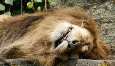 sleeping #lion