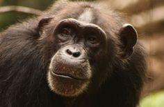 """Alarm für die Westafrikanischen Schimpansen. Sie gelten jetzt als """"vom Aussterben bedroht"""". Die meisten leben außerhalb von Schutzgebieten. Die Regierungen Westafrikas müssen alles Erdenklich tun, um unsere nahen Verwandten zu retten. Bitte unterstützen Sie diese Forderung mit Ihrer Unterschrift."""
