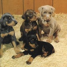 Doberman puppies: There isn't anything cuter. To meet one is to fall in love. :)