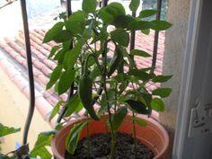 Comment faire pousser des graines de poivrons sur son balcon   LOVE IT !!!!