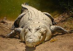 Saltwater crocodiles are by far the most dangerous animals in Australia. Facts, their life, their habitat, and Australian saltwater crocodile pictures. Crocodile Marin, Crocodile Facts, Crocodile Pictures, Sea Crocodile, Most Deadly Animal, Deadly Animals, Les Reptiles, Reptiles And Amphibians, Big Animals
