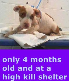 KALLIE (A1678676) I am a female white and brown Terrier. The shelter staff think I am about 4 months old. I was found as a stray and I may be available for adoption on 02/09/2015. — hier: Miami Dade County Animal Services. https://www.facebook.com/urgentdogsofmiami/photos/pb.191859757515102.-2207520000.1423421603./925098044191266/?type=3&theater