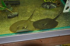 River stingrays or freshwater stingrays are freshwater fishes of the Potamotrygonidae family (order Myliobatiformes). They have a venomous caudal sting, and are one of the most feared freshwater fishes in the Neotropical region, sometimes more feared than piranhas and electric eels.