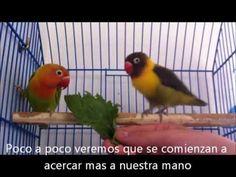 Agapornis - Frutas e Verduras - YouTube